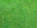 Beautiful green grass texture from golf course Stock Images