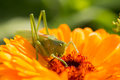 A beautiful green grasshopper sitting on a calendula. Insect resting on a flower. English marigold closeup. Royalty Free Stock Photo