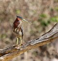 Green heron showing his chest feathers and crest on the top of his head. Royalty Free Stock Photo