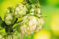 Beautiful green hop Royalty Free Stock Photography