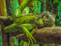 Beautiful green iguana Royalty Free Stock Photo