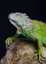 Beautiful green iguana Royalty Free Stock Photo