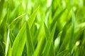 Beautiful green iris leaves Royalty Free Stock Photo