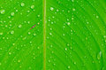 Beautiful green leaf with drops of water and drop close up Royalty Free Stock Image