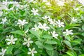 Beautiful green leaves bush and petite starry pure white petals of Snowflake fragrant flower blooming under sunlight Royalty Free Stock Photo