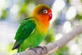 Beautiful green lovebird parrot on a branch with highlights on the background Royalty Free Stock Photography