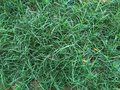Beautiful green and  lustrous grass Royalty Free Stock Photo