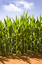 Beautiful green maize growing on the field Stock Photo