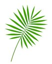 Beautiful green palm leaf isolated on white Royalty Free Stock Image