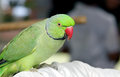 A beautiful green parrot Stock Photography