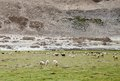 Beautiful green pasture and changthangi goats of ladakh are also called as pashmina goat in Royalty Free Stock Photos