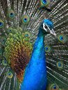 The beautiful green peacock close up Royalty Free Stock Images