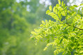 Beautiful green sheet to acacias Royalty Free Stock Photography