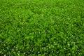Texture overgrown clover