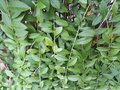 Green vines and leaves Royalty Free Stock Photo