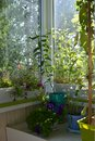 Beautiful greening of the balcony. Cozy garden in home. Blooming flowers grow in pots and boxes