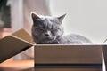 Beautiful grey cat sleeping in a box. British Shorthair kitten Royalty Free Stock Photo
