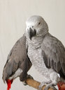 Beautiful grey parrots Stock Photography