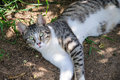 Beautiful grey and white cat enjoy noon sunshine in garden tabby Royalty Free Stock Photo