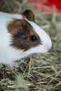 Beautiful guinea pig closeup Royalty Free Stock Photo