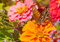 Beautiful Gulf Fritillary butterfly feeding Stock Photos