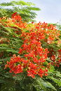 Beautiful Gulmohar flowers Stock Photography