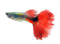 Beautiful Guppy  on whte  Background Royalty Free Stock Photo