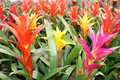 Beautiful guzmania magnifica flower Stock Images