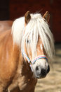Beautiful haflinger with colorfull halter in paddock Royalty Free Stock Photos