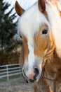 Beautiful Haflinger horse is eating branches Royalty Free Stock Photo