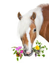 Beautiful Haflinger Horse with natural herbs in her mouth Royalty Free Stock Photo
