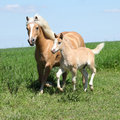 Beautiful haflinger mare with a foal on pasturage Stock Photography