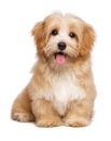Beautiful happy reddish havanese puppy dog is sitting frontal and looking at camera isolated on white background Stock Photo