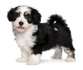 A beautiful happy tricolor havanese puppy dog is s standing and looking at camera isolated on white background Royalty Free Stock Image