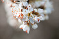 Beautiful hawthorn branch in bloom spring Stock Photography