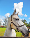 The beautiful head of a white horse on green lawn riding school and breeding purebred arabian horses Royalty Free Stock Photos