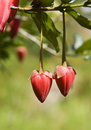 Beautiful Heart Shaped Seed Pods Royalty Free Stock Photos