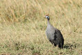 A beautiful helmeted guineafowl belongs of the bird family Stock Photos
