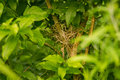 A beautiful hidden nest of a small bird in a bush Royalty Free Stock Photo