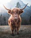 Highland Cattle in the Morning Sun Royalty Free Stock Photo