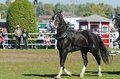 Beautiful horse at country fair black heavy in full harness the th carp ontario canada http www carpfair ca products Stock Photo