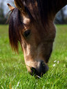 Beautiful Horse feeding Stock Images