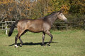 Beautiful horse running on pasturage in autumn kinsky Stock Photos