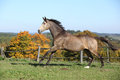 Beautiful horse running on pasturage in autumn kinsky Stock Photo