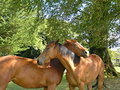 Beautiful horses in love Royalty Free Stock Photo