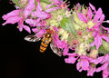 Beautiful hover fly Royalty Free Stock Photo