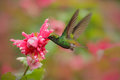 Beautiful hummingbird, Coppery-headed Emerald, Elvira cupreiceps, flying next to nice pink flower. Bird sucking nectar. Feeding sc Royalty Free Stock Photo