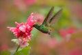 Beautiful hummingbird, Coppery-headed Emerald, Elvira cupreiceps, flying next to nice pink flower. Bird sucking nectar. Feeding sc Royalty Free Stock Photo