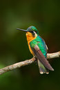Beautiful hummingbird. Orange and green small bird from mountain cloud forest in Costa Rica. Purple-throated Mountain-gem