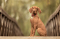 Beautiful hungarian vizsla dog on the wooden bridge Royalty Free Stock Photo